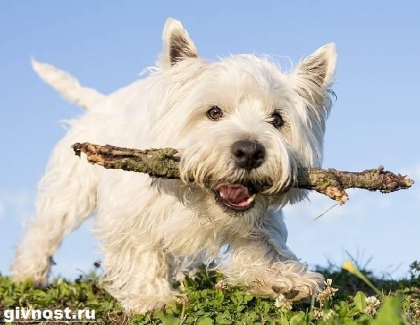 Вест-хайленд-уайт-терьер-собака-Описание-характер-и-уход-за-вест-хайленд-уайт-терьером-10
