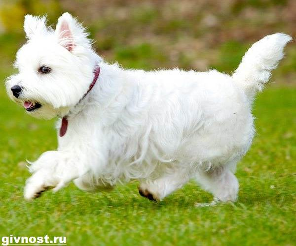 Вест-хайленд-уайт-терьер-собака-Описание-характер-и-уход-за-вест-хайленд-уайт-терьером-11