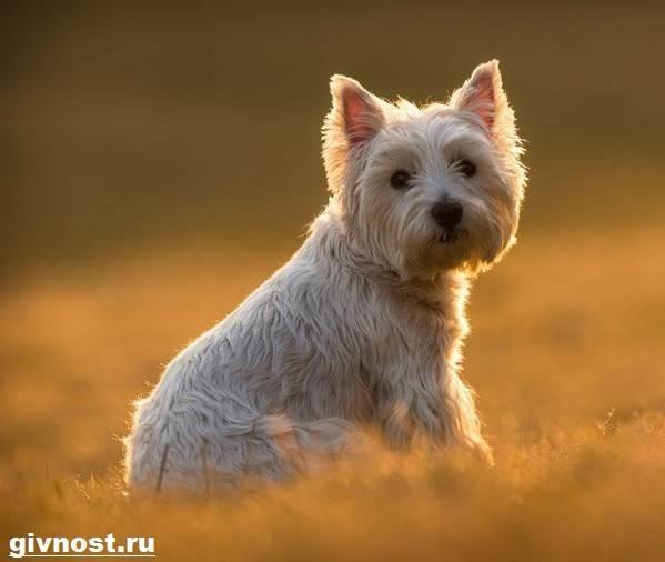 Вест-хайленд-уайт-терьер-собака-Описание-характер-и-уход-за-вест-хайленд-уайт-терьером-12