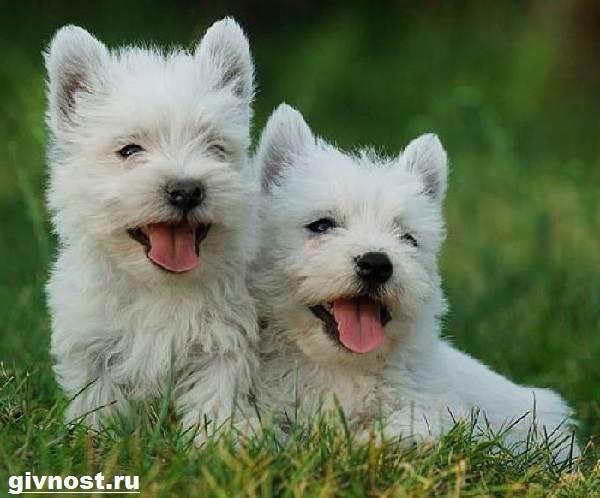 Вест-хайленд-уайт-терьер-собака-Описание-характер-и-уход-за-вест-хайленд-уайт-терьером-3