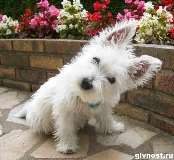 Вест-хайленд-уайт-терьер-собака-Описание-характер-и-уход-за-вест-хайленд-уайт-терьером-4