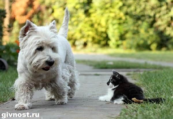 Вест-хайленд-уайт-терьер-собака-Описание-характер-и-уход-за-вест-хайленд-уайт-терьером-5