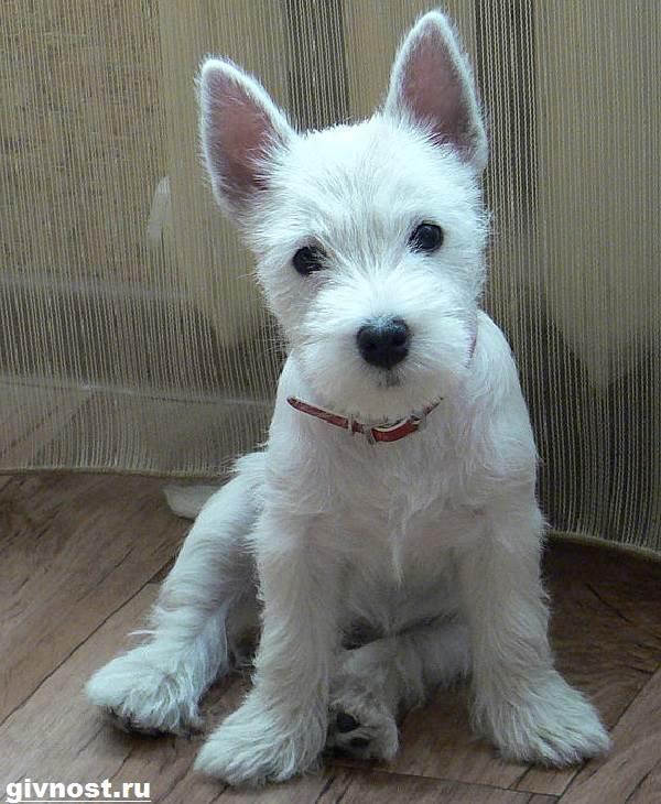 Вест-хайленд-уайт-терьер-собака-Описание-характер-и-уход-за-вест-хайленд-уайт-терьером-7