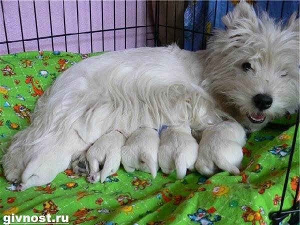 Вест-хайленд-уайт-терьер-собака-Описание-характер-и-уход-за-вест-хайленд-уайт-терьером-8