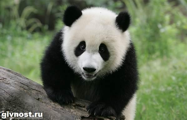 Животные-Китая-Описание-названия-и-виды-животных-Китая-1