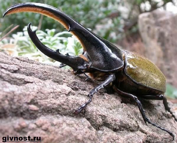 Жук-геркулес-насекомое-Образ-жизни-и-среда-обитания-жука-геркулеса-1