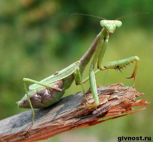Богомол-насекомое-Образ-жизни-и-среда-обитания-богомола-1