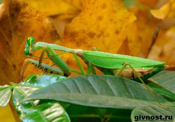 Богомол-насекомое-Образ-жизни-и-среда-обитания-богомола-2