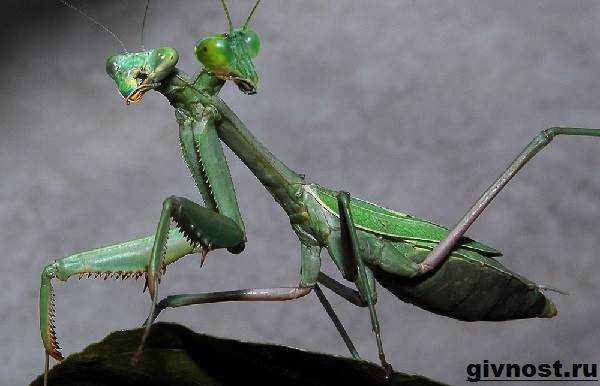 Богомол-насекомое-Образ-жизни-и-среда-обитания-богомола-6
