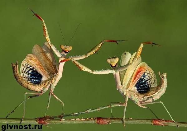 Богомол-насекомое-Образ-жизни-и-среда-обитания-богомола-9