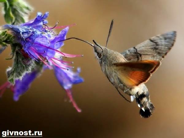 Бражник-бабочка-насекомое-Образ-жизни-и-среда-обитания-бражника-10