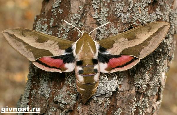 Бражник-бабочка-насекомое-Образ-жизни-и-среда-обитания-бражника-11