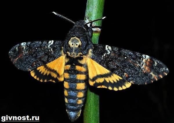 Бражник-бабочка-насекомое-Образ-жизни-и-среда-обитания-бражника-2