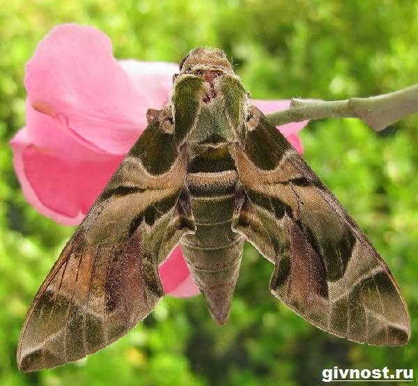 Бражник-бабочка-насекомое-Образ-жизни-и-среда-обитания-бражника-3