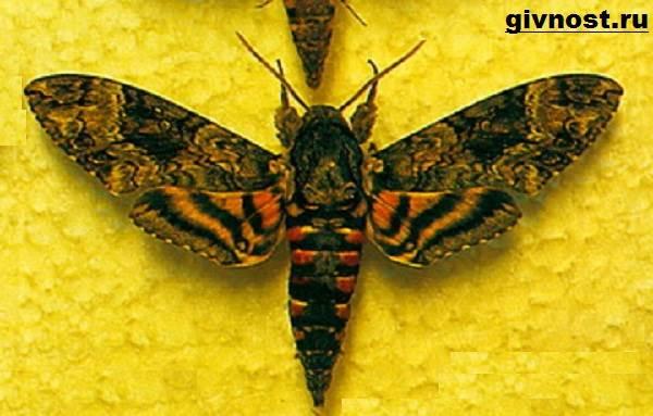Бражник-бабочка-насекомое-Образ-жизни-и-среда-обитания-бражника-6
