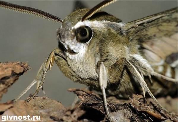 фото бражник насекомое