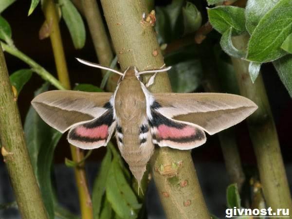 Бражник-бабочка-насекомое-Образ-жизни-и-среда-обитания-бражника-9