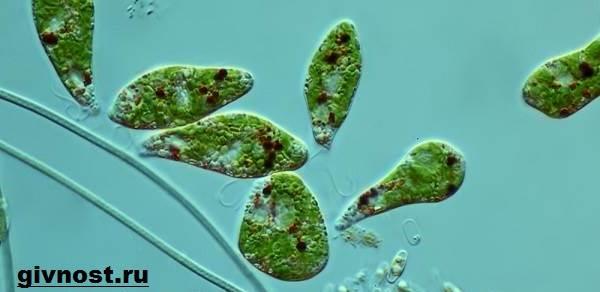 Евглнена-зеленая-Образ-жизни-и-среда-обитания-евглены-зелёной-3
