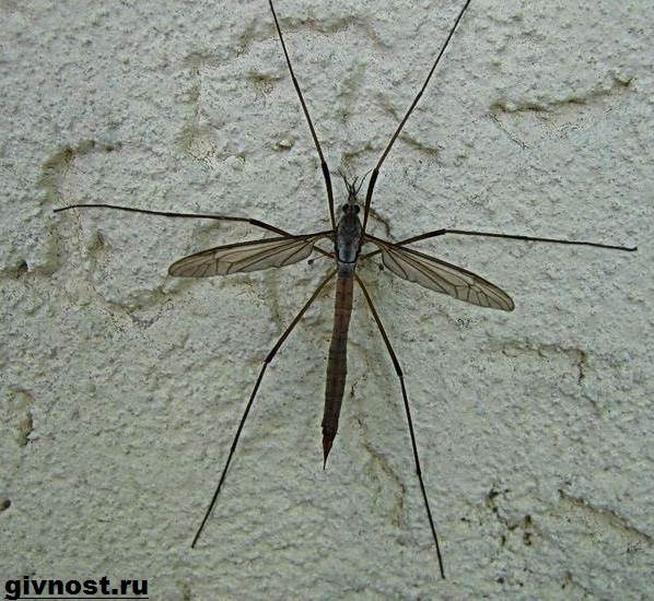 Комар-насекомое-Образ-жизни-и-среда-обитания-комара-8