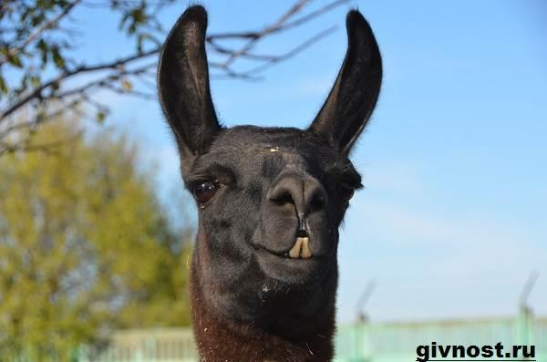 Лама-животное-Образ-жизни-и-среда-обитания-ламы-11