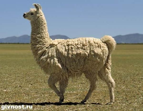 Лама-животное-Образ-жизни-и-среда-обитания-ламы-2