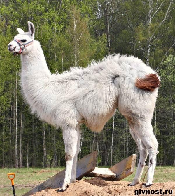 Лама-животное-Образ-жизни-и-среда-обитания-ламы-3