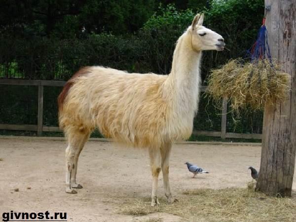 Лама-животное-Образ-жизни-и-среда-обитания-ламы-4