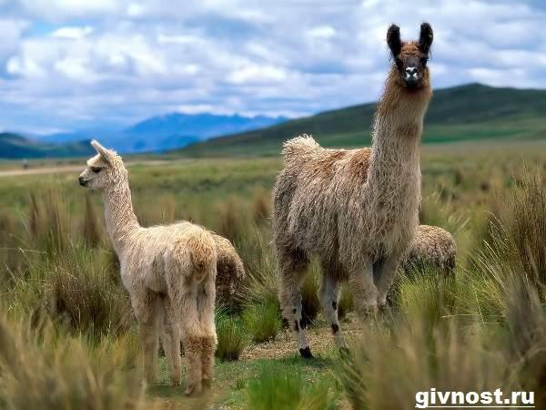 Лама-животное-Образ-жизни-и-среда-обитания-ламы-6