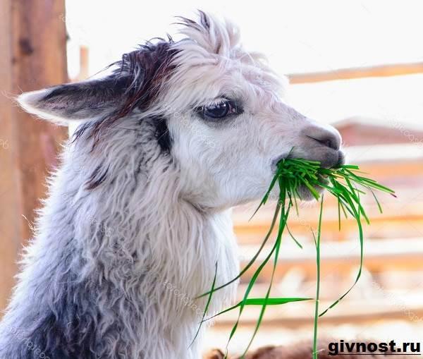 Лама-животное-Образ-жизни-и-среда-обитания-ламы-7