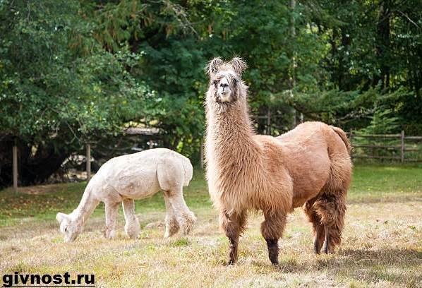 Лама-животное-Образ-жизни-и-среда-обитания-ламы-8