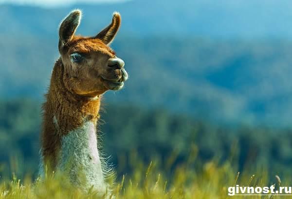 Лама-животное-Образ-жизни-и-среда-обитания-ламы-9