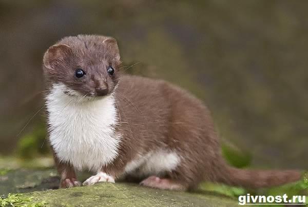 Ласка-животное-Образ-жизни-и-среда-обитания-ласки-1
