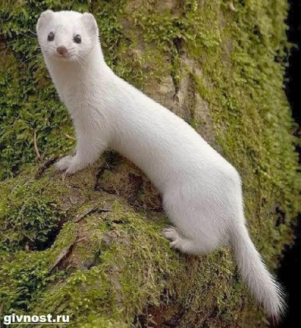 Ласка-животное-Образ-жизни-и-среда-обитания-ласки-2