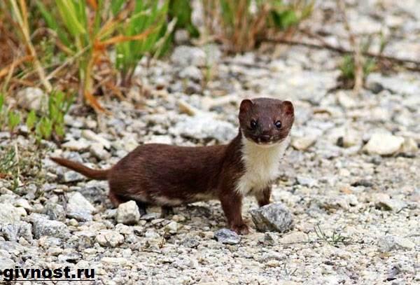 Ласка-животное-Образ-жизни-и-среда-обитания-ласки-4