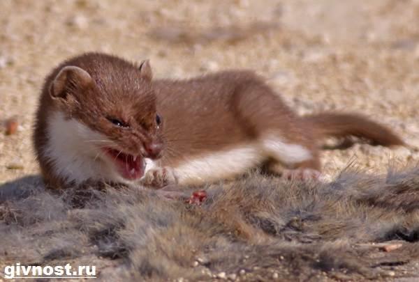 Ласка-животное-Образ-жизни-и-среда-обитания-ласки-5