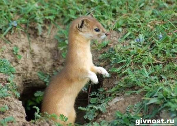 Ласка-животное-Образ-жизни-и-среда-обитания-ласки-6