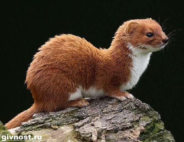 Ласка-животное-Образ-жизни-и-среда-обитания-ласки-9
