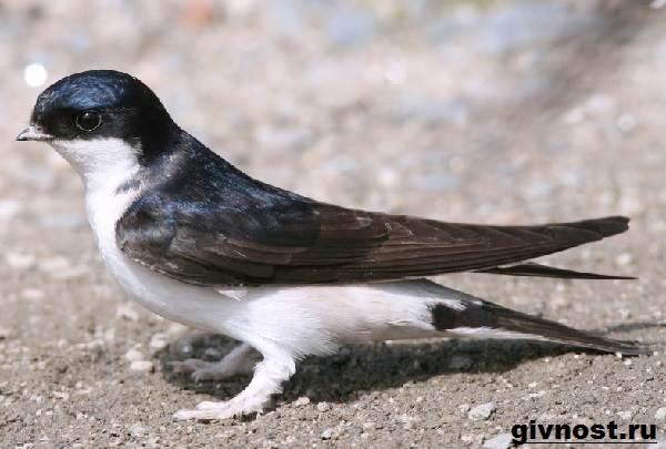 Ласточка-птица-Образ-жизни-и-среда-обитания-ласточки-1