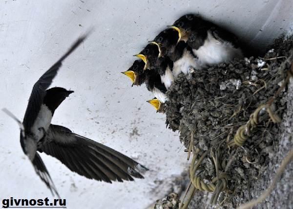 Ласточка-птица-Образ-жизни-и-среда-обитания-ласточки-10