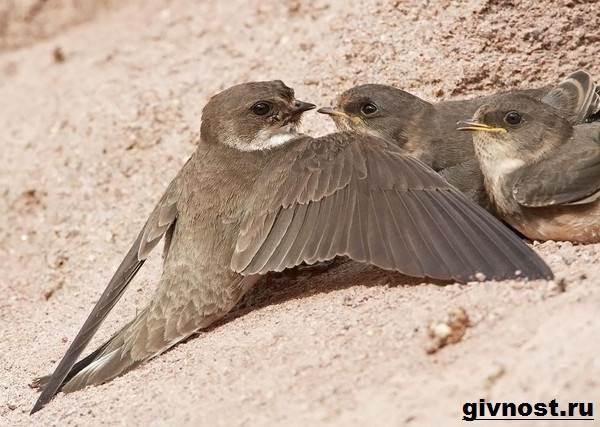 Ласточка-птица-Образ-жизни-и-среда-обитания-ласточки-7