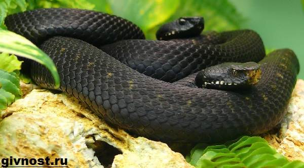 Мамба-черная-змея-Образ-жизни-и-среда-обитания-чёрной-мамбы-1