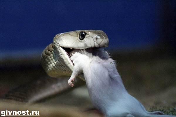 Мамба-черная-змея-Образ-жизни-и-среда-обитания-чёрной-мамбы-10