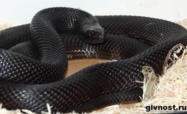 Мамба-черная-змея-Образ-жизни-и-среда-обитания-чёрной-мамбы-4