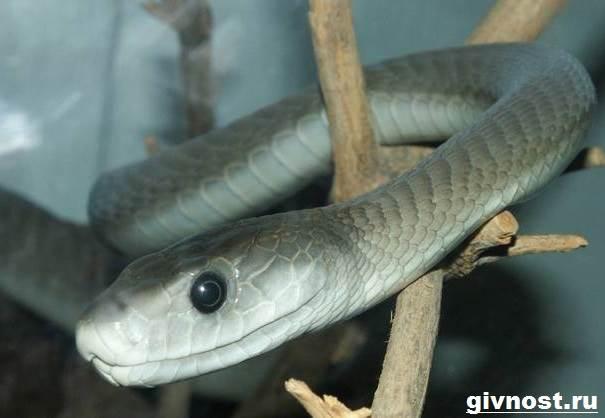 Мамба-черная-змея-Образ-жизни-и-среда-обитания-чёрной-мамбы-9
