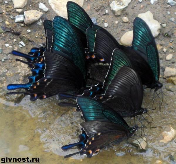 Махаон-бабочка-насекомое-Образ-жизни-и-среда-обитания-махаона-10