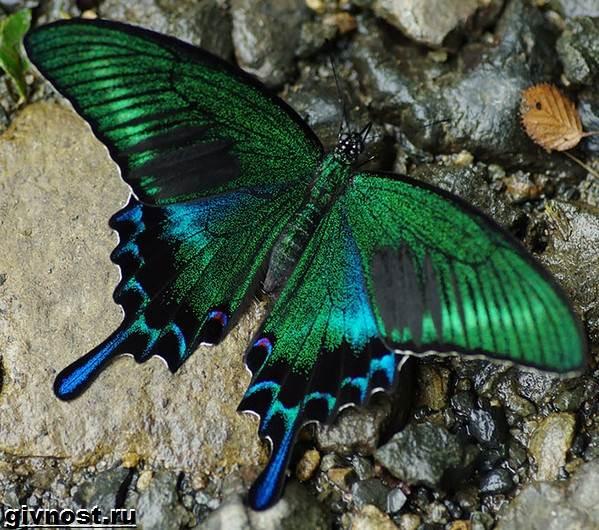 Махаон-бабочка-насекомое-Образ-жизни-и-среда-обитания-махаона-7
