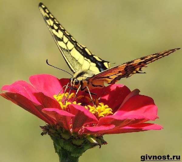 Махаон-бабочка-насекомое-Образ-жизни-и-среда-обитания-махаона-9
