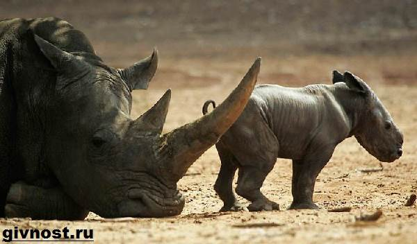 Носорог-животное-Образ-жизни-и-среда-обитания-носорога-1