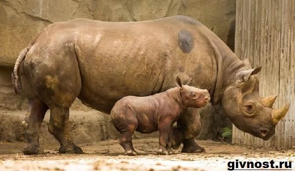 Носорог-животное-Образ-жизни-и-среда-обитания-носорога-10