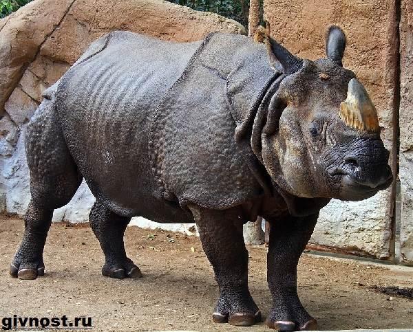 Носорог-животное-Образ-жизни-и-среда-обитания-носорога-3